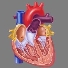 Рисунок для мед.института(Сердце)