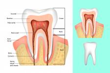 Анатомия зубов