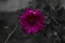Розовый во тьме