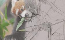 Panda. Работа в фотошопе
