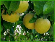 Грейпфрут Дункан – фруктовое дерево у вас дома
