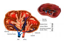 Анатомия - строение селезёнки