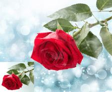 обтравка розы