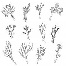 Растения дудлы