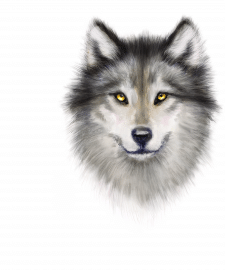 Волк иллюстрация для футболки