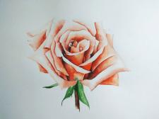 Акварель, роза