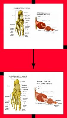 Векторная отрисовка (анатомия)