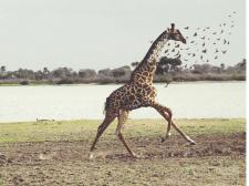Жираф=)