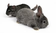 ЗОО тематика (животный мир - кролики, шиншиллы)