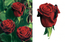 Обработка фотографии цветка на белый фон