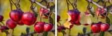 Урожай яблок...был