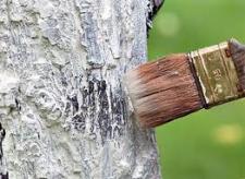 Нужна ли побелка деревьям?