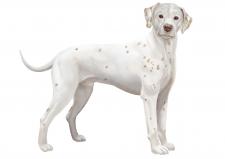 Собака Коди