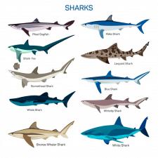 Акулы вектор