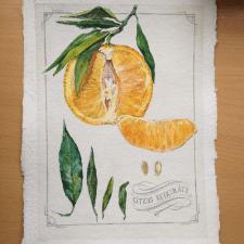 Ботаническая иллюстрация. Мандарин. Акварель