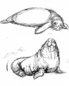 Скетч моржа