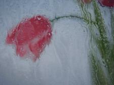 Тюльпан за стеклом