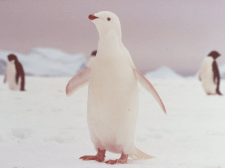 Сказка о белом пингвиненке