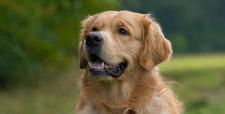 Персистирующие зубы у собак