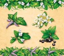 Иллюстрации трав для чая