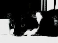 Обработка фотографии черно-белой кошки