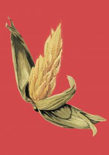 Иллюстрация для аграрного каталога Кукуруза