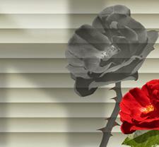 Роза N