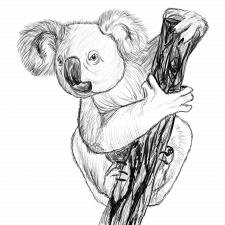 sketch of koala
