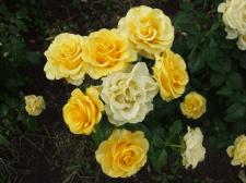 Ветка красивых желтых роз