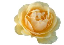 Отрисовка Розы кистью в фотошопе, очень детальная