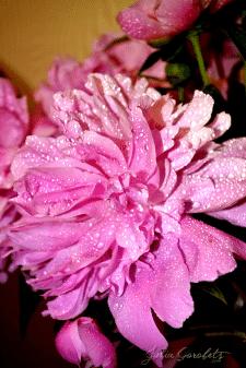 Цветок.Пион